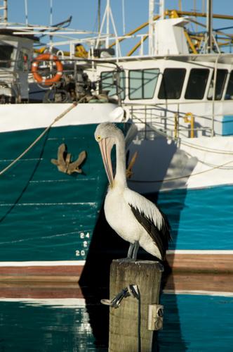 FBH pelican