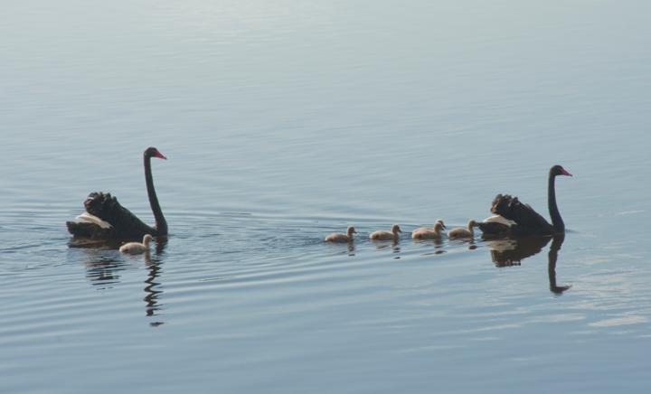 swanning