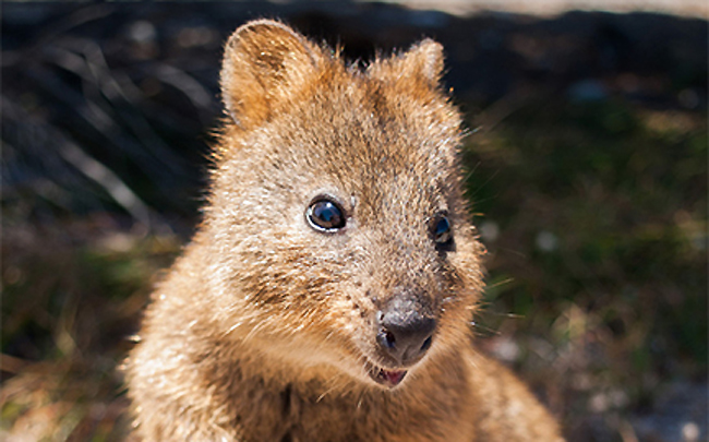 Quokka (Setonix brachyurus) looking into the camera, Rottnest Is