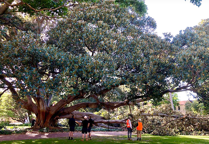 UWA fig treet